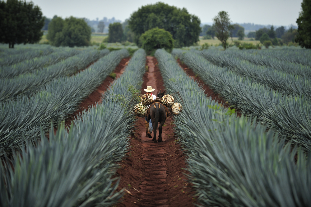mexico agave