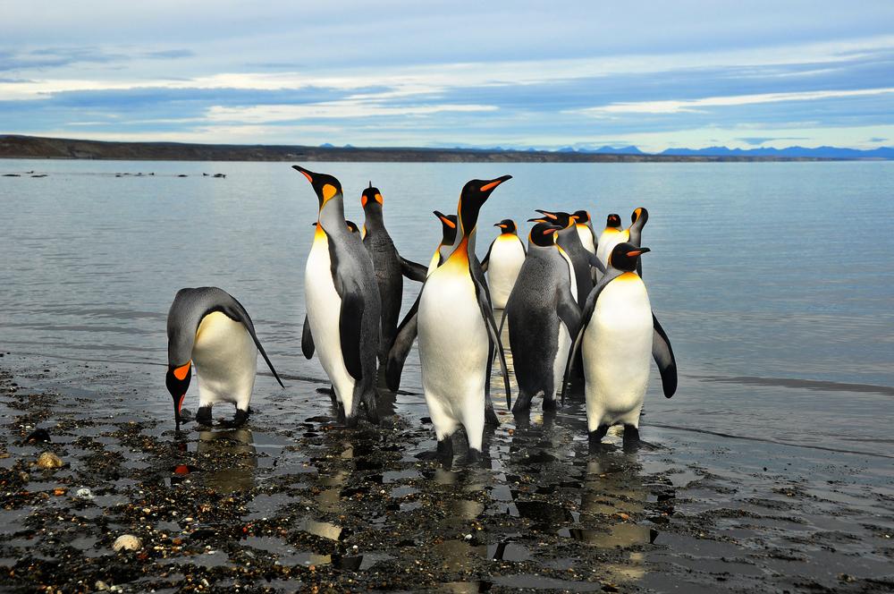 argentina-penguin